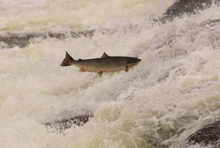 AMIK prépare un colloque sur la gestion du saumon