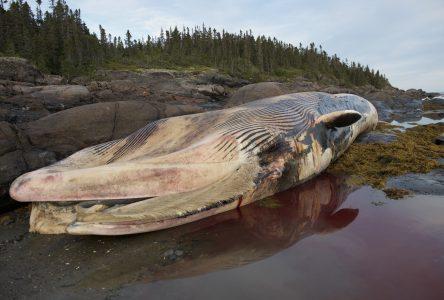 Baleine échouée aux Îles de Mai : tuée suite à une collision ?