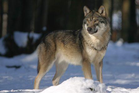 Fausse alerte aux loups
