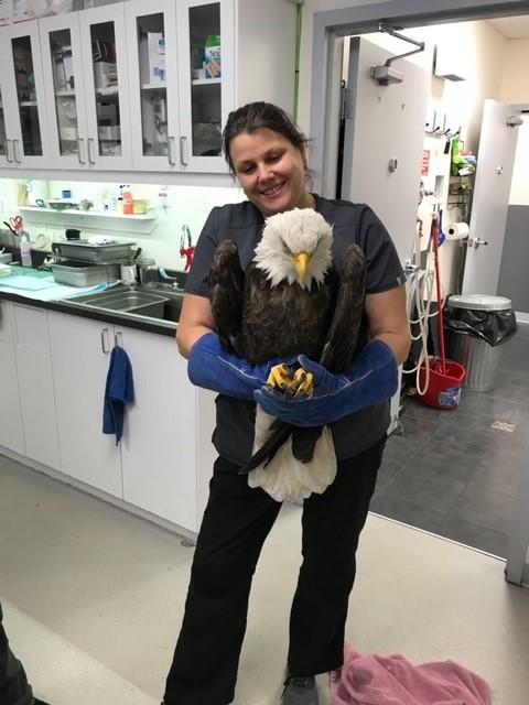 Un aigle à tête blanche transféré d'urgence à Baie-Comeau