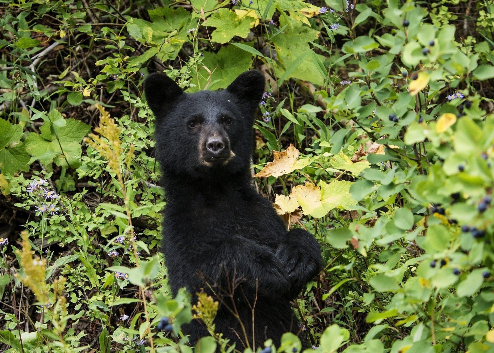 Signalements d'ours noirs en ville