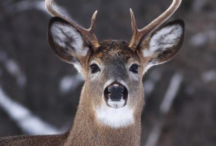 Le MFFP veut documenter la migration des cerfs de Virginie en Côte-Nord