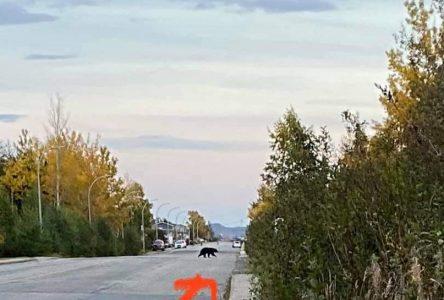 L'ours revient dans les parages après une promenade de minimum cent kilomètres
