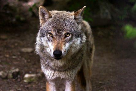 Présence de loups à Port-Cartier